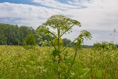Giant Hogweed, a giant hogweed against blue stock images