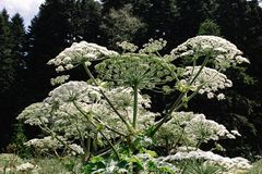 Giant hogweed growing in a field in the mountains of the Adygea Heracleum manteggazzianum royalty free stock photography