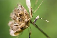 Giant Hogweed. Royalty Free Stock Photo