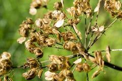 Giant Hogweed. Stock Photos