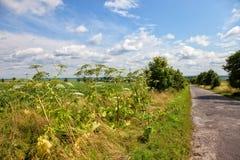 Giant hogweed Royalty Free Stock Photography