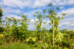 Giant hogweed. Heracleum sosnowskyi is a flowering plant contain the intense toxic allergen. It is dangerous for humans stock photos