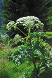 Giant Hogweed (Heracleum sphondylium) Royalty Free Stock Images