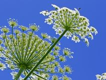 Giant Hogweed, in Latin: heracleum sphondylium Royalty Free Stock Photo