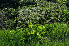 Giant Hogweed, Overstrand, Cromer, Norfolk, England Stock Images