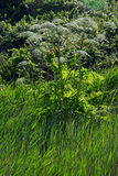 Giant Hogweed, Overstrand, Cromer, Norfolk, England Stock Photos