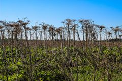 Dry plant giant Hogweed grows in the field stock photography