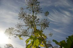 Giant Hogweed Silhouette Stock Photo