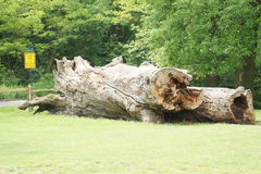 Giant hollow tree trunk near castle Pohansko, Lednice, Czech republic Royalty Free Stock Images