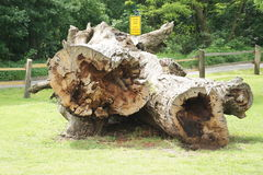 Giant hollow tree trunk near castle Pohansko, Lednice, Czech republic Royalty Free Stock Photos