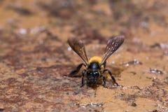 Giant honey bee Stock Photo