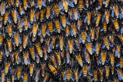 Giant honey bees Stock Image