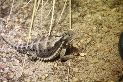 Giant Horned Lizard (Phrynosoma asio) Stock Photo