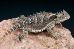 Giant horned lizard / Phrynosoma asio Stock Photography