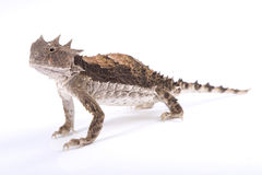 Giant horned lizard, Phrynosoma asio. The Giant horned lizard, Phrynosoma asio, is the largest member of the family. These are specialized ant eaters Stock Image