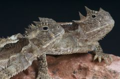 Giant horned lizards / Phrynosoma asio Royalty Free Stock Photos
