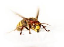 Giant hornet Stock Photography