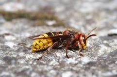 Giant hornet Royalty Free Stock Image