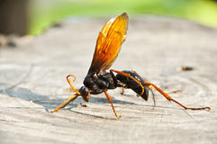 Giant hornet. Stock Image