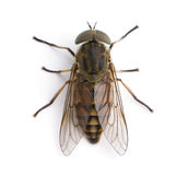 Giant horse fly in front of a white background Royalty Free Stock Photo