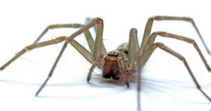 Giant House Spider. Tegenaria Gigantean or Giant House Spider Stock Photo
