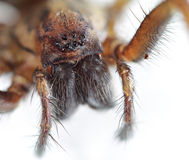 Free Giant House Spider Royalty Free Stock Photo - 31967125