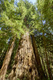Giant huge Redwood tree among the forest. It smells faintly of cinnamon and strongly of earth, power and woods when you walk among the Redwoods in California royalty free stock image