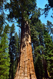 Giant Huge Sequoia Trees Royalty Free Stock Photos