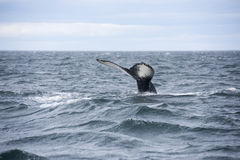 Giant Humpback Whale Tale in Iceland Royalty Free Stock Photo