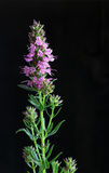 Giant Hyssop Pink Dark Background. Giant pink hyssop used as spice and salubrious herb on dark background stock photography