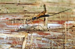 Giant Ichneumon Wasp on Dead Cedar Stock Photo