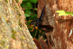 Giant Ichneumon Wasp (Megarhyssa atrata) Stock Photography