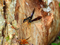 Giant Ichneumon Wasps in Illinois Stock Photography