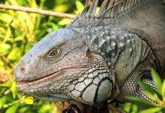 Giant iguana Royalty Free Stock Image