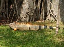 Giant iguana Stock Image