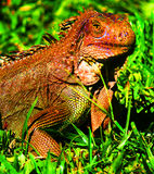 Giant Iguana Costa Rica. Captured this image in a Costa Rican wildlife park. Giant Iguana sunning itself near the forest trees awoke suddenly as it sensed us royalty free stock photography