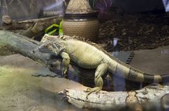 Giant iguana lizard. A giant iquana lizard in point defiance zoo and aquarium, Tacoma Washington stock photo