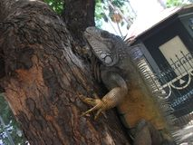 Giant iguana in a park in guayaquil, climbing a tree royalty free stock image
