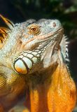 Giant iguana portrait is resting in the zoo. This is the residual dinosaur reptile that needs to be preserved in the natural world Royalty Free Stock Photo