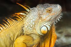 Giant iguana portrait is resting in the zoo. This is the residual dinosaur reptile that needs to be preserved in the natural world Stock Photos