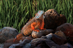 Giant Iguana on Rocks Royalty Free Stock Images