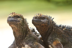 Giant Iguanas with Natural Background Royalty Free Stock Photography