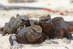 Giant Iguanas with Natural Background Stock Photo