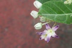 Giant Indian Milkweed at garden. Giant Indian Milkweed Close up in the morning stock photo