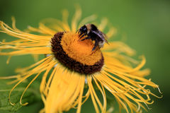 Giant Inula Helenium flower with a bumblebee Royalty Free Stock Photo
