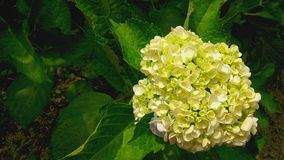 Giant Ivory White Ball-shape Hydrangea Royalty Free Stock Images