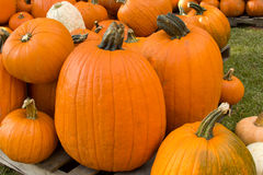 Giant Jack o' Lantern Pumpkins Stock Photography