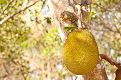 Giant jackfruit. Jackfruit hanging on the tree Royalty Free Stock Photos