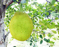 Giant jackfruit Stock Photo