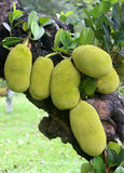 Giant Jackfruits in tree Stock Image